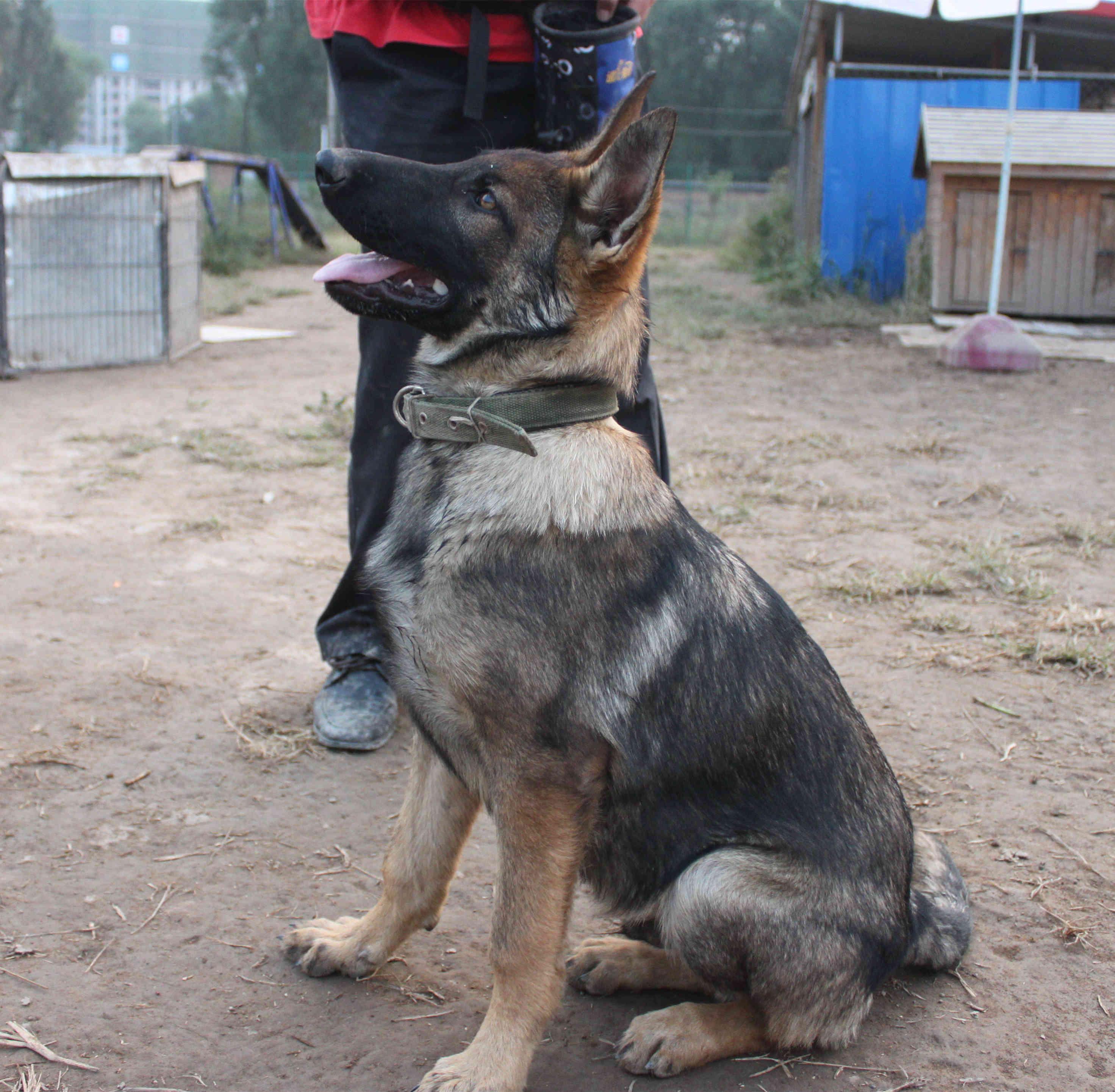 eu/dogs-details/179529/lux-vom-wieratal 种母详情链接:http://www.